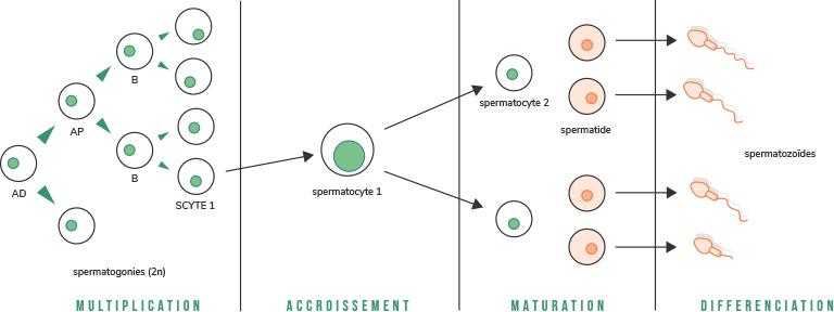 Déroulement de la spermatogenese