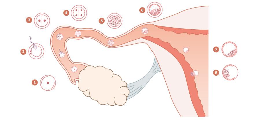 Les étapes de développement de l'embryon