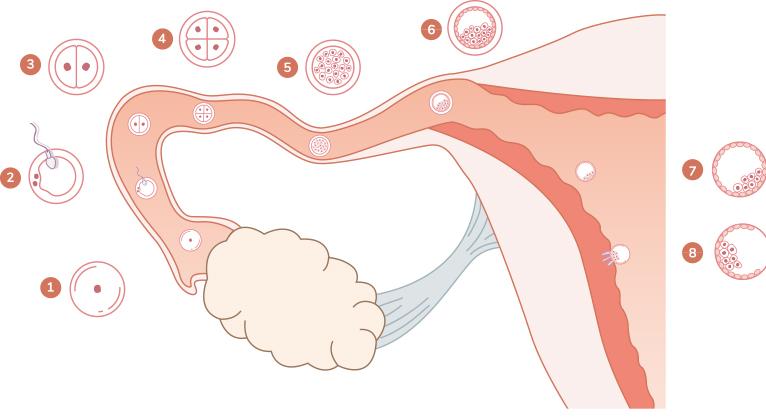 De l'ovogénèse à l'embryon