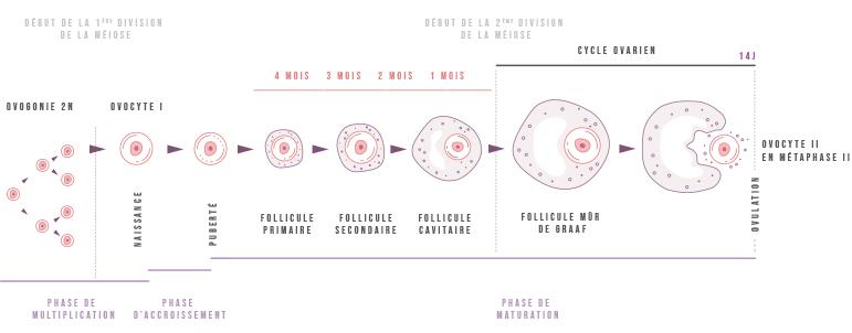 Développement normal de l'ovocyte