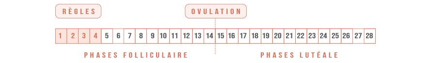 Les différentes phases de l'ovulation